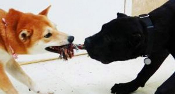 Two dogs playing with a rope