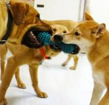 Group of dogs playing with a toy