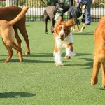 Dogs chasing a ball in the play yard