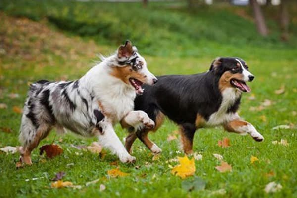 Two dogs running in a field