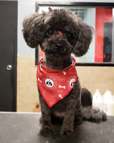 Happy, groomed dog wearing a Doggies Gone Wild bandana