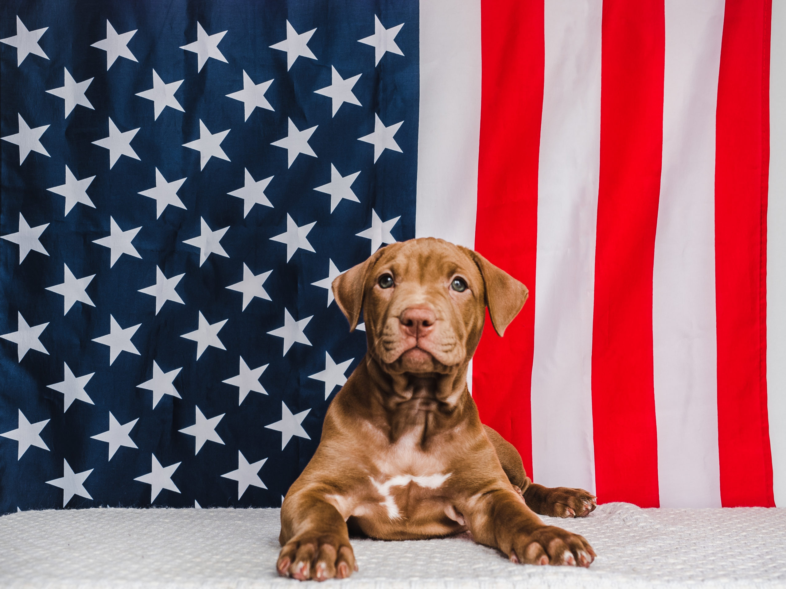 Pup + American Flag